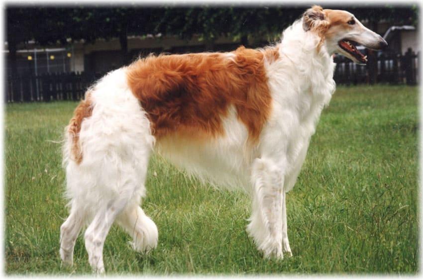 Русская псовая борзая: фото, описание породы, характер, болезни