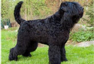 Московская сторожевая фото собаки, краткая характеристика, характер, уход за щенками, болезни