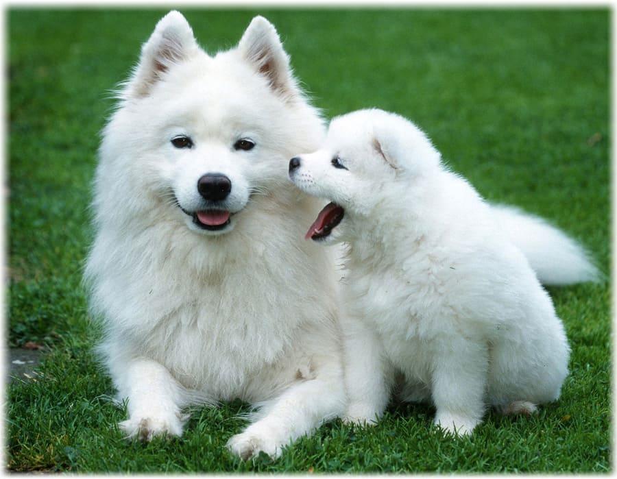 Самоедская лайка щенок с мамой