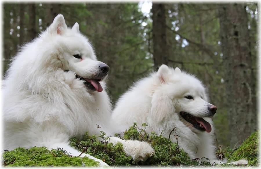 Фото самоедских собак в лесу