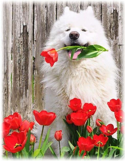 Белая собака cамоедсткая лайка и красные тюльпаны