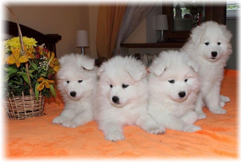Фото щенков самоедской собаки на кровати