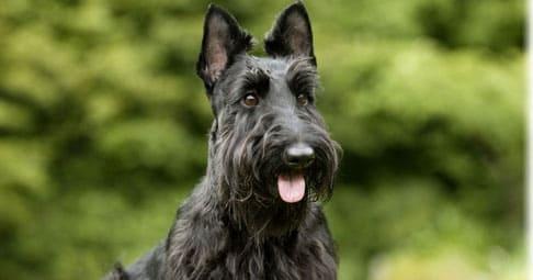 Скотч терьер: фото, собака, порода, характер, приобрести, дрессировать