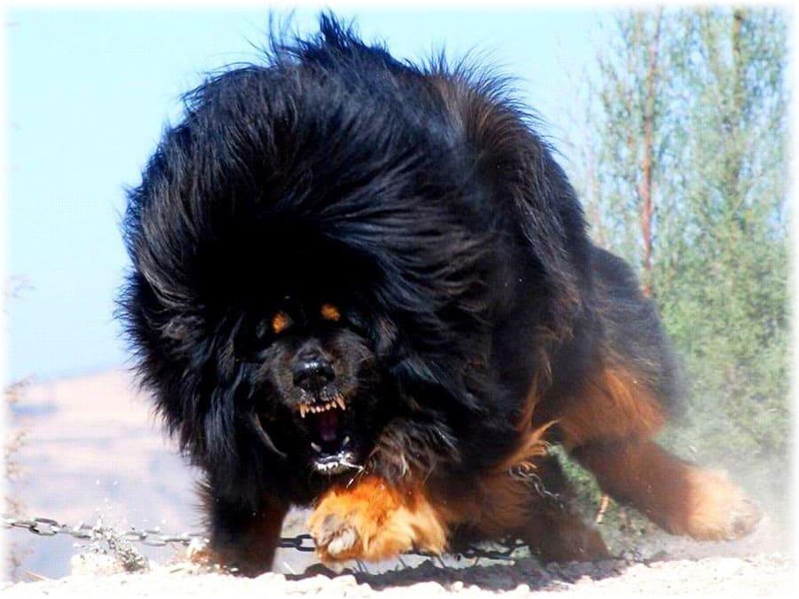 Агрессивный тибетский мастиф
