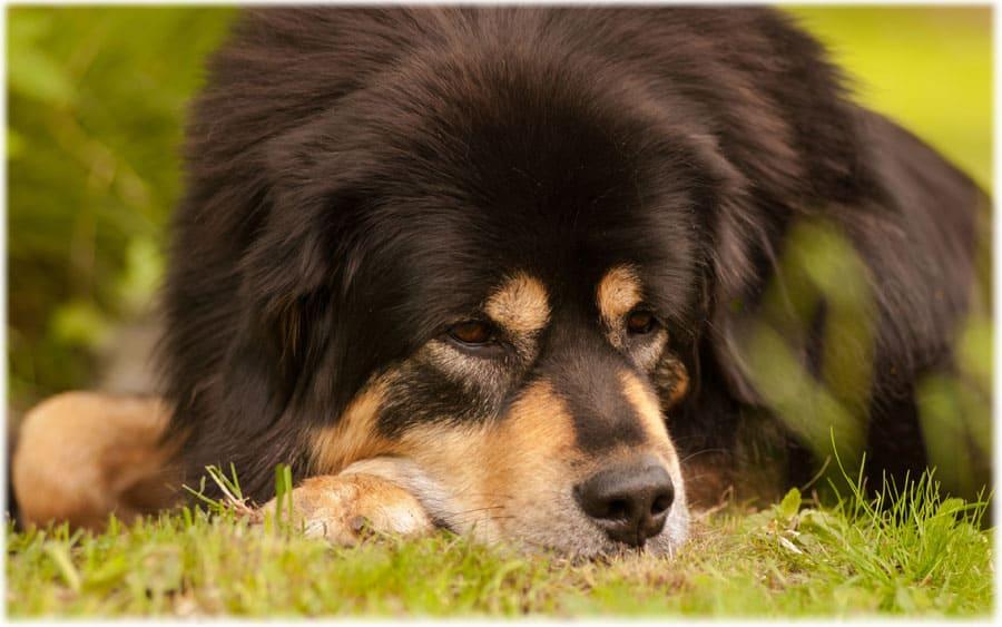 Тибетский мастиф отдыхает на траве