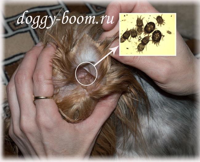 клещи у собак в ушах фото