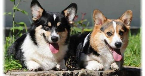 Порода собак Корги (55 фото): Вельш Пемброк, коротколапый терьер, описание, видео