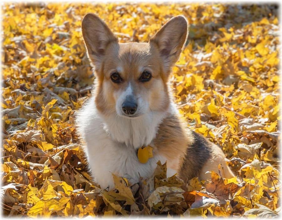 щенок вельш корги пемброк фото рекомендую экономить растушивается