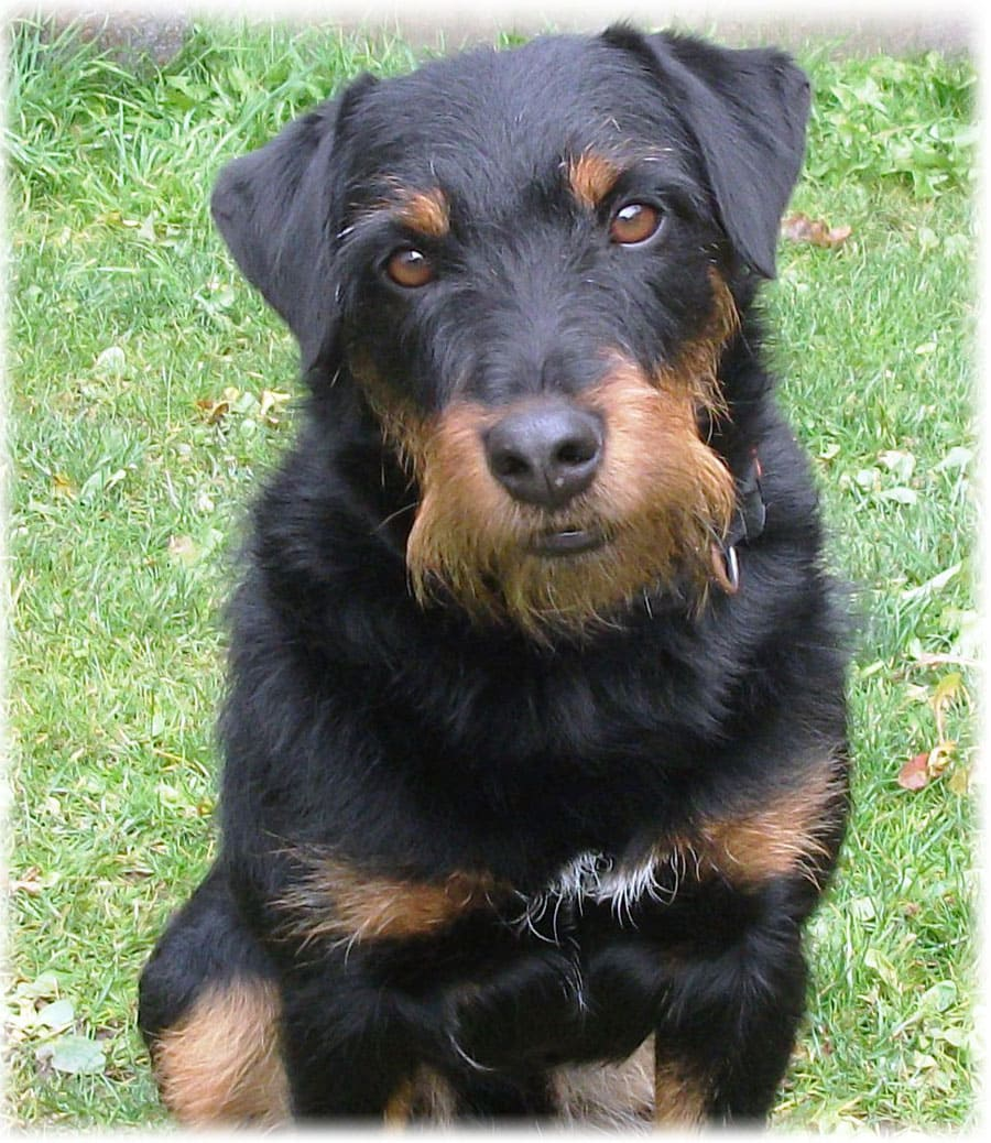 Ягдтерьер: немецкий охотничий терьер, фото, характер, кормление и болезни, характеристика