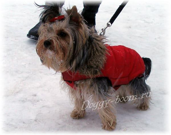 Собака зимой в одежде