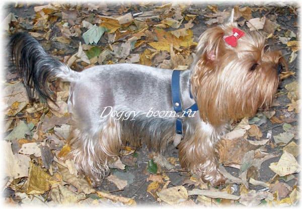 История болезни пироплазмоз собак